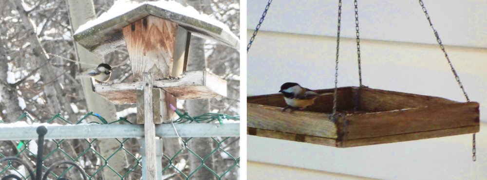 Of course, there are always the ubiquitous chickadees, our favourite.
