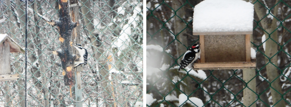 We really enjoy the variety of woodpeckers that come for the free handouts. We have a resident pair of downy woodpeckers.