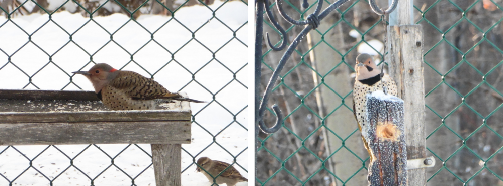 This winter is the first one that we are fortunate to have a pair of northern flickers taking up residence.
