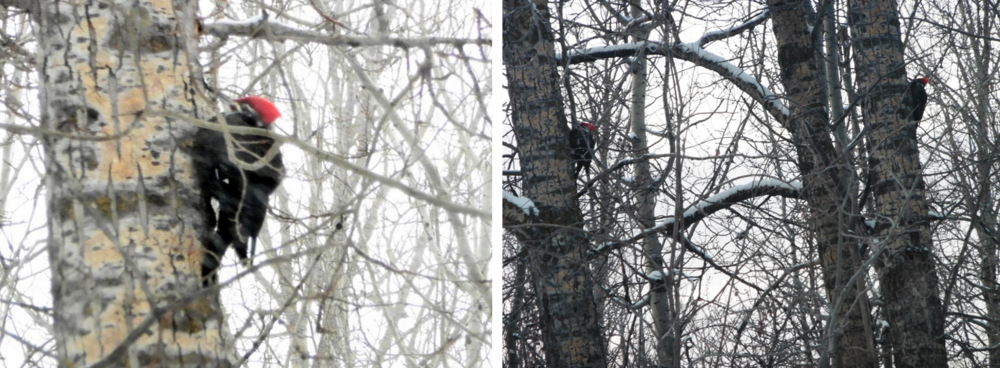 But our most favouritist of all, are the pileated woodpeckers. The snowy Friday before Christmas, one spent most of the day just hanging around in the same spot. Late in the afternoon the Mrs. joined up with him.