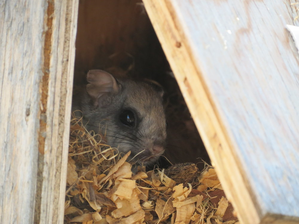 Flying Squirrel sheepishly peering out of its home.