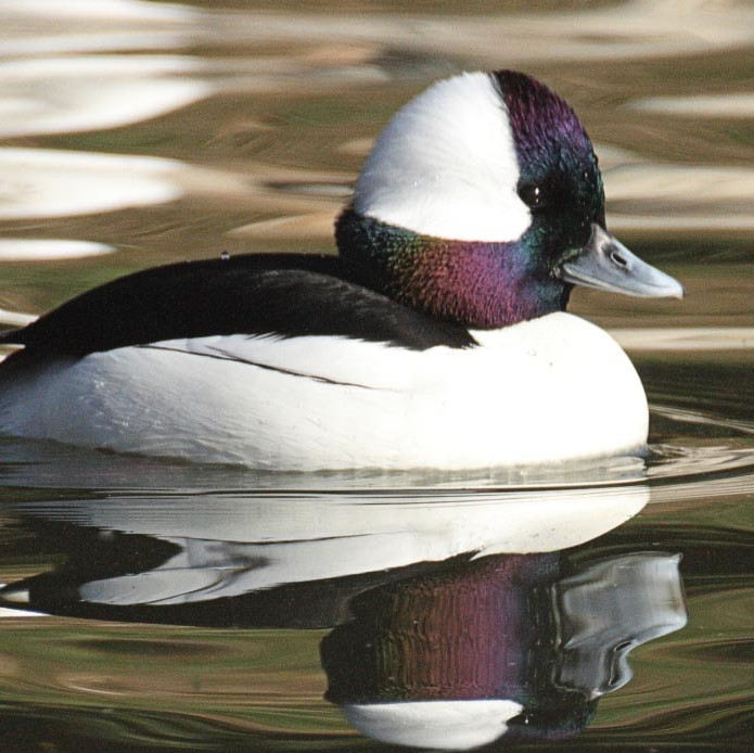 patricia_bruno_Bufflehead copy (2).jpg