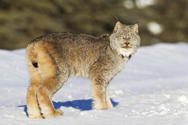 Canada Lynx Edmonton Area Land Trust
