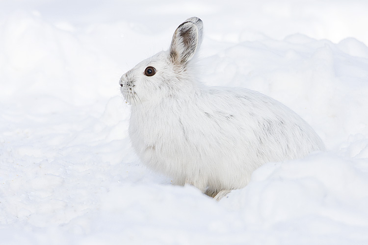 Snowshoe hare by Gerald Romanchuk