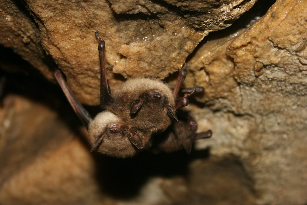 Little Brown Bats by Ann Froschauer, USFWS