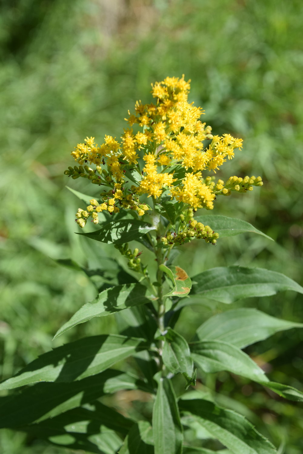 Canada goldenrod in bloom