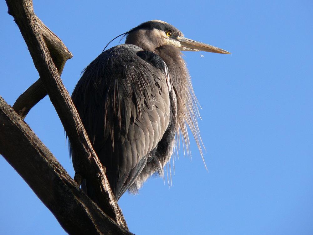 2006-02-09 Heron Blues 073.jpg