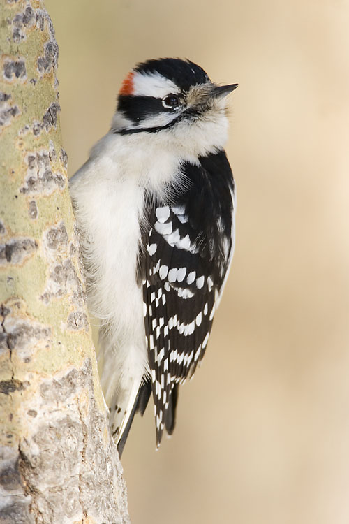 Downy Woodpecker by Gerald Romanchuk