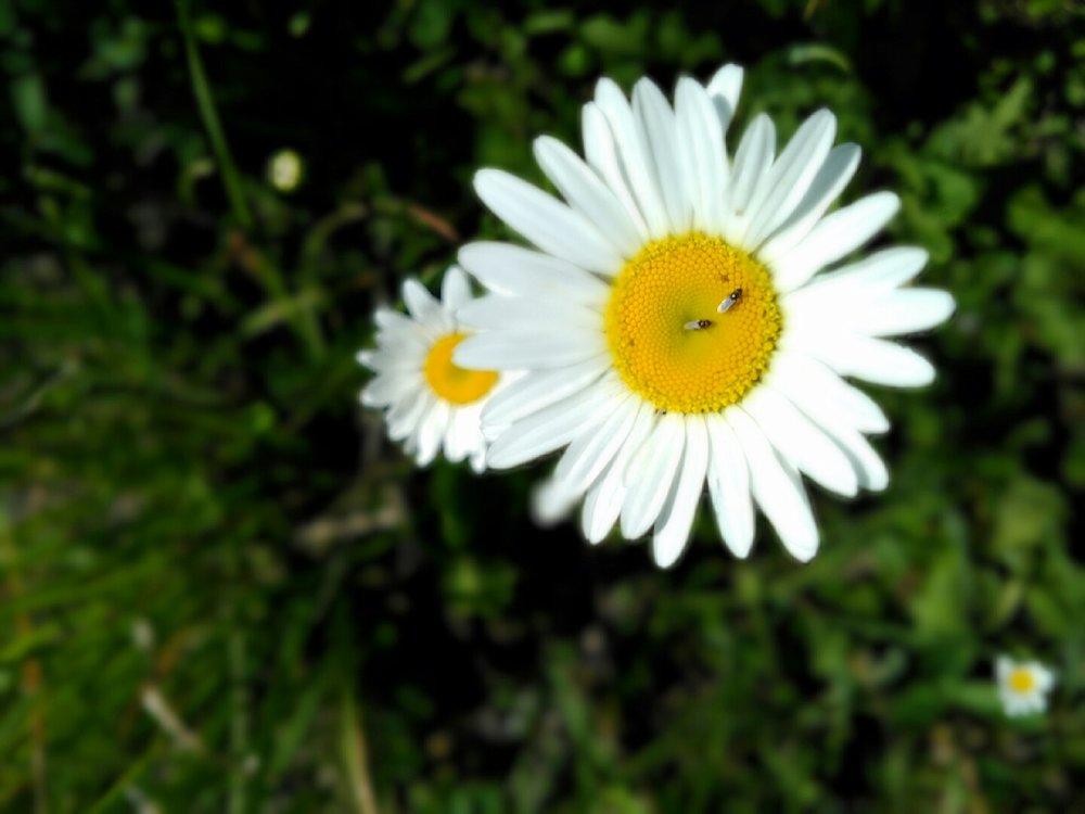 Oxeye daisy