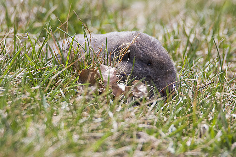 Northern Pocket Gopher. Photo by Gerald Romanchuk