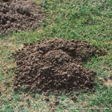 Pocket gopher mound by sacvalleyorchards.com