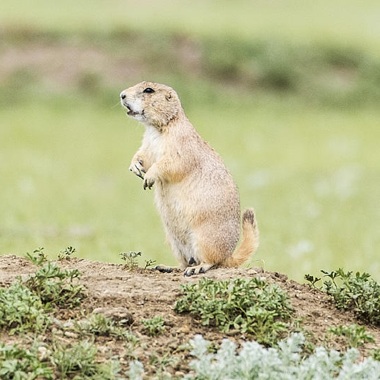 Black-tailed prairie dog by Gerald Romanchuk