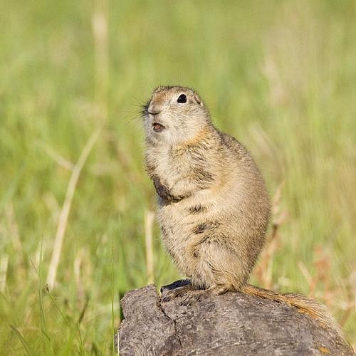 Richardson's ground squirrel by Gerald Romanchuk