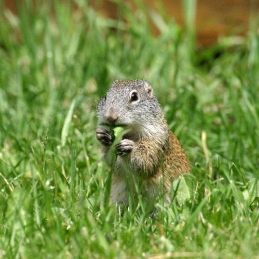 Franklin's ground squirrel ( Poliocitellus franklinii ). Photo by Gerald Romanchuk