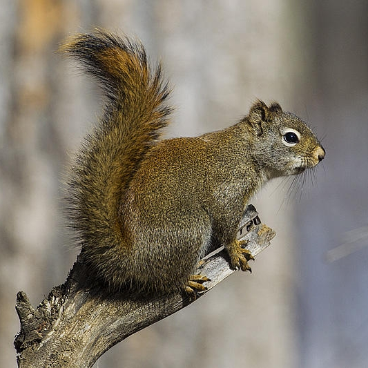 American red squirrel ( Tamiasciurus hudsonicus ). Photo by Gerald Romanchuk