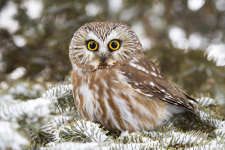 Northern Saw-whet Owl by Gerald Romanchuk