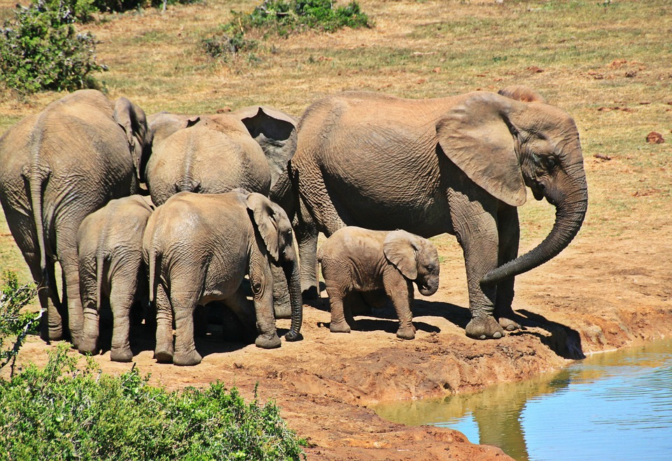 elephant herd-pixabay.jpg
