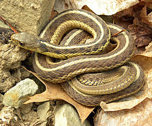 Image from: https://en.wikipedia.org/wiki/Garter_snake