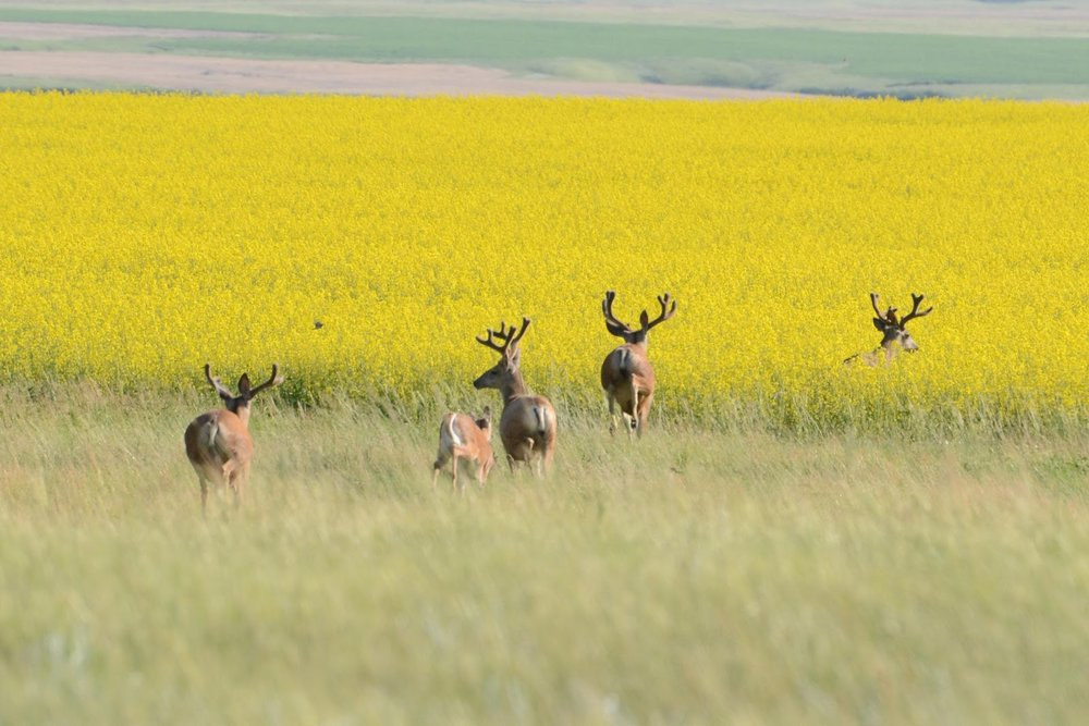 Deer in canola field Photo By: Glenn Eckert