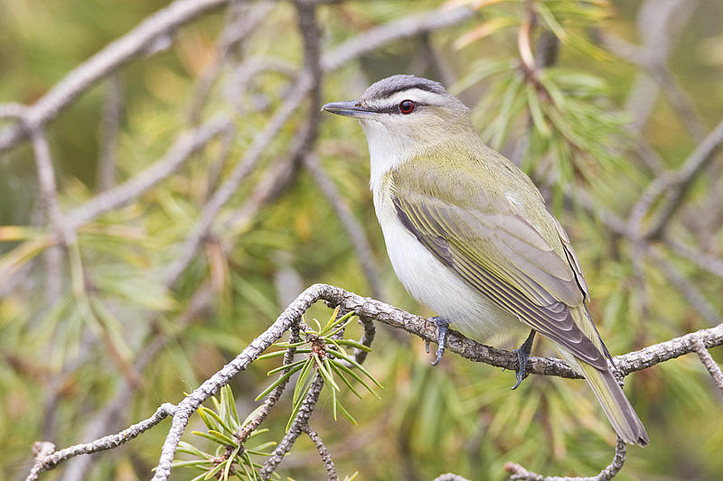 Red-eyed Vireo   Photo: Gerald Romanchuk