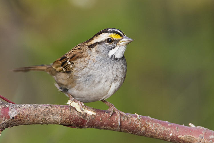 White-throated Sparrow Photo: Gerald Romanchuk
