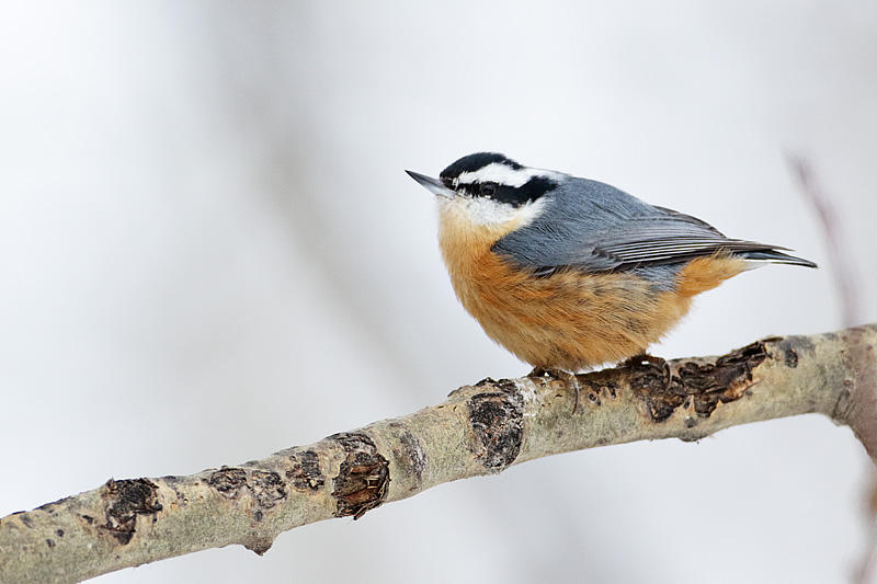 Red-breasted Nuthatch   Photo: Gerald Romanchuk