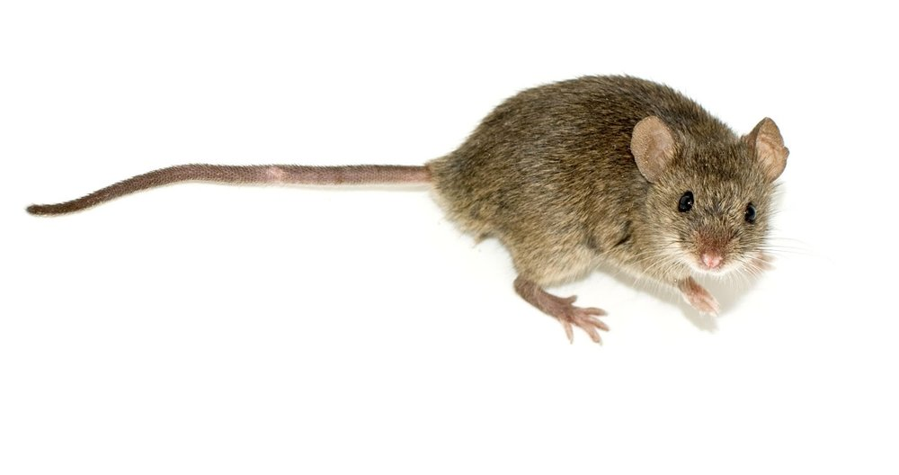 Mice are one of many animals that use the subnivean layer.     By George Shuklin (talk) - Own work, CC BY-SA 1.0, https://commons.wikimedia.org/w/index.php?curid=5521043