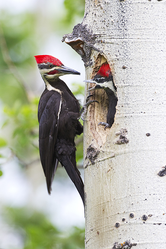 Pileated woodpecker (Gerald Romanchuk)