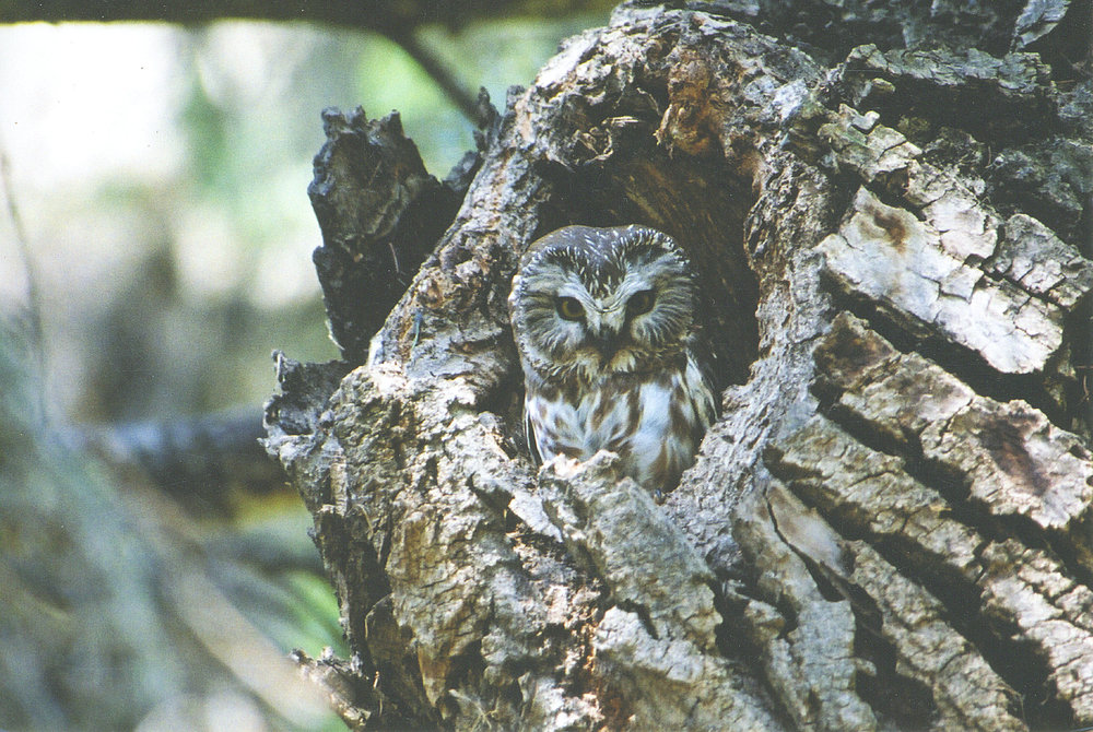 Saw whet owl (Betty Fisher)