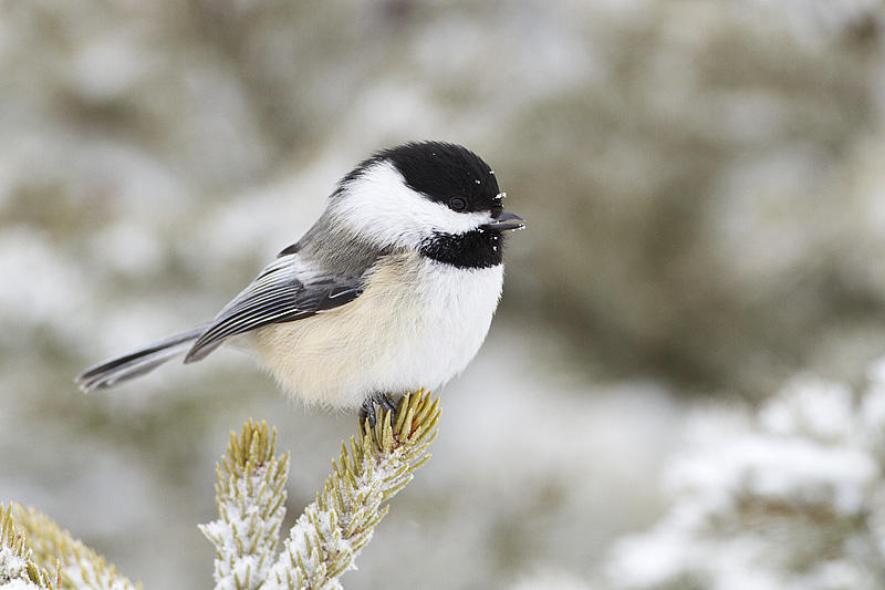 Chickadees are a species that undergo torpor  .   Photo Credit: Gerald Romanchuk