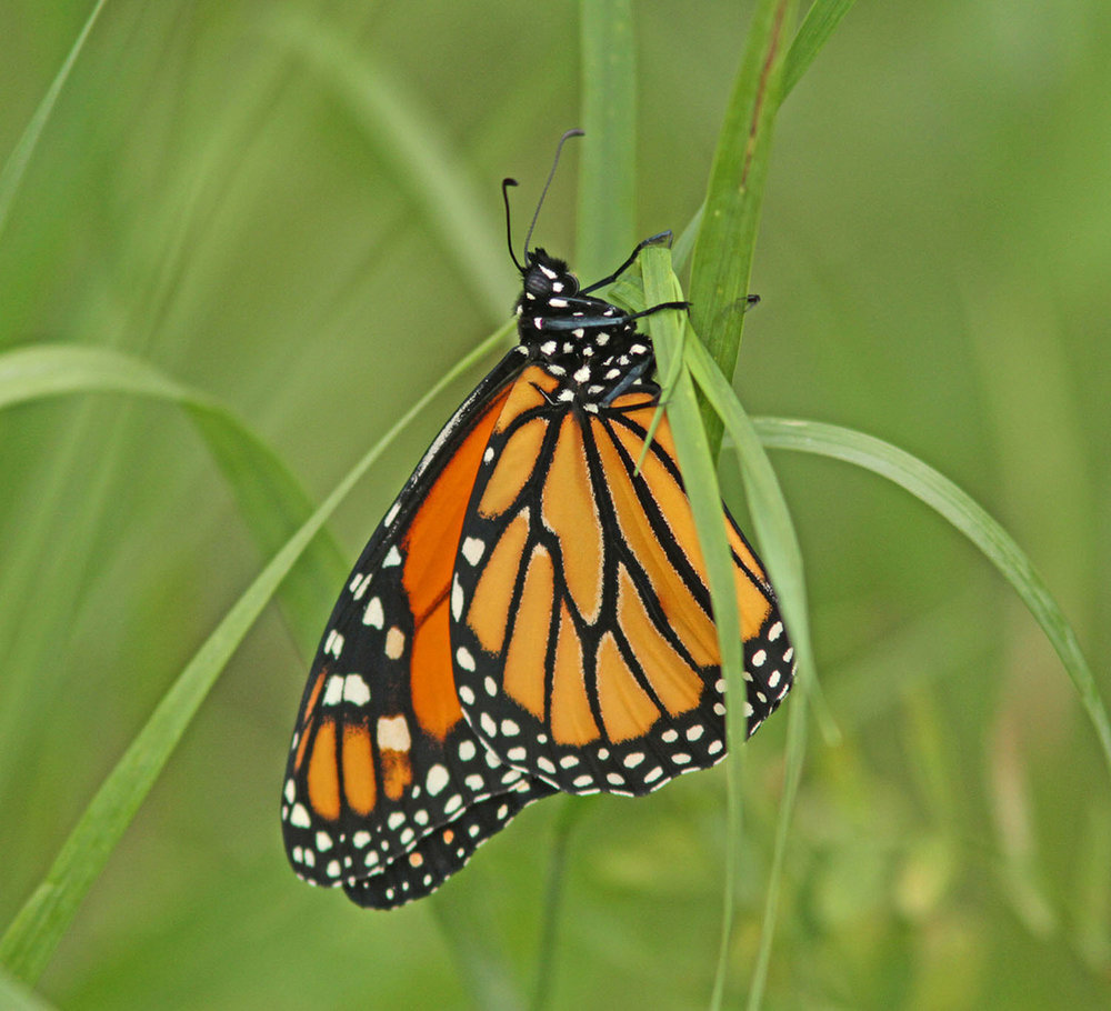 Monarch Butterflies can undergo Diapause     Photo Credit: Don Delaney