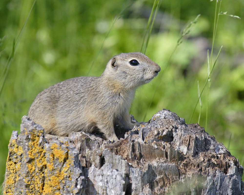 Ground squirrels are true hibernators  Photo Credit: Gerald Romanchuk