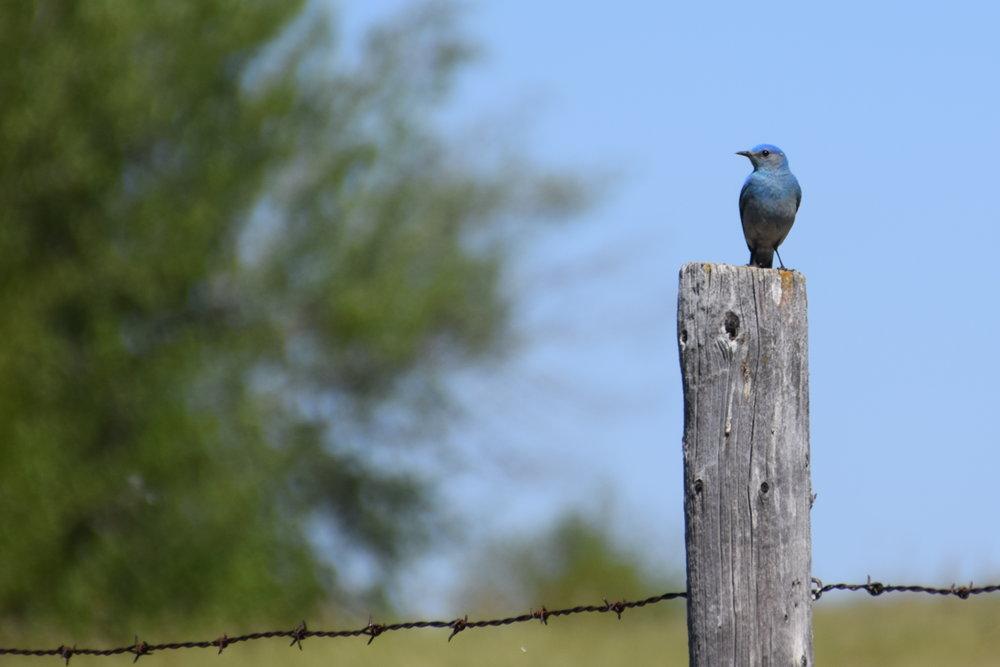 mountain bluebird - EALT.JPG