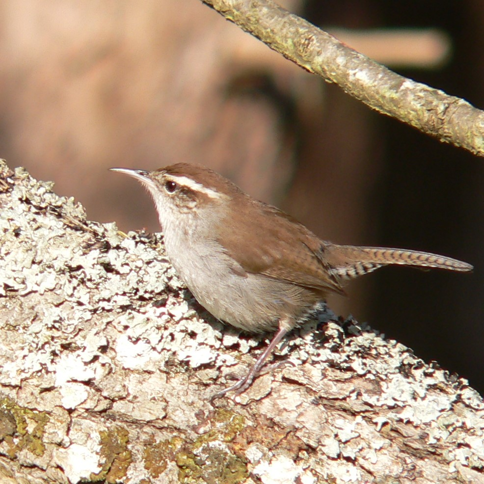 House Wren by Doris May
