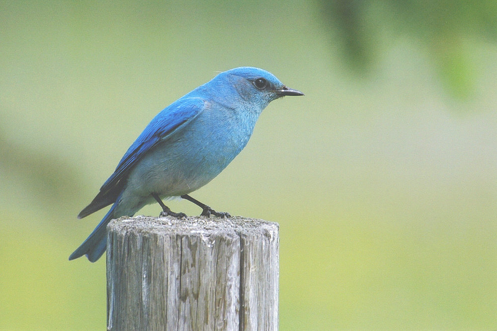 Mountain Bluebird by Betty Fisher