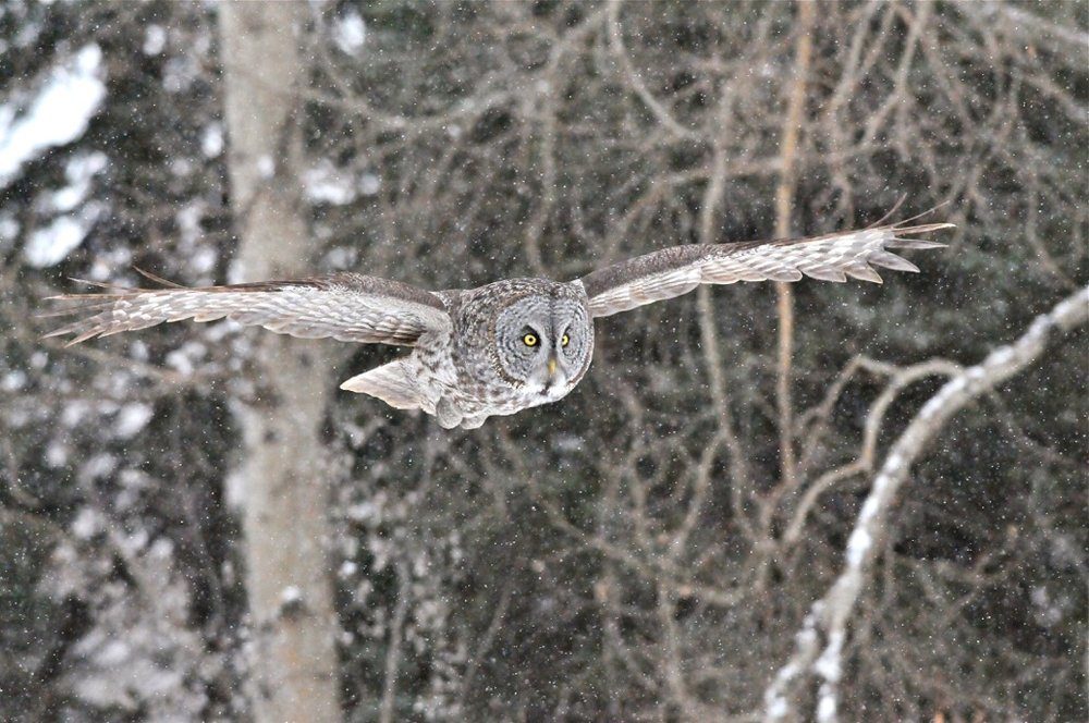 Great Gray Owl by Betty Fisher