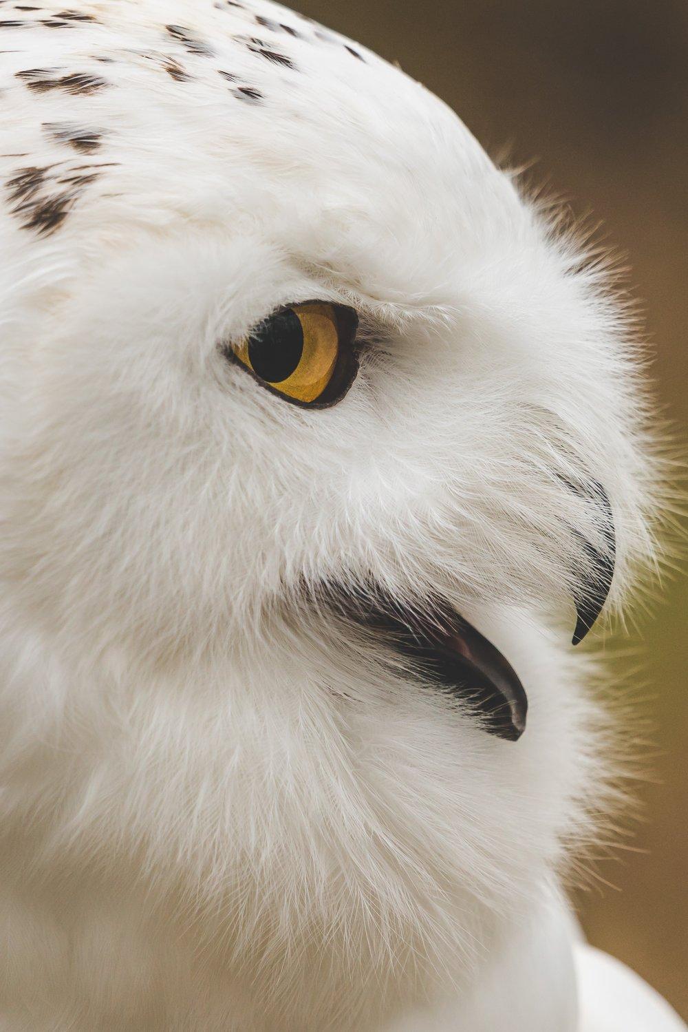 Snowy Owl by Patrick Brinksma