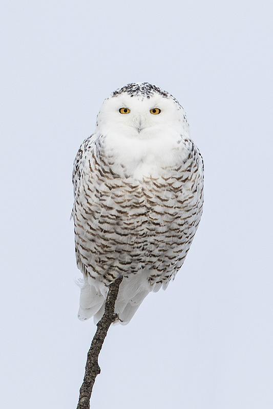 Female Snowy - Gerald Romanchuk.jpg
