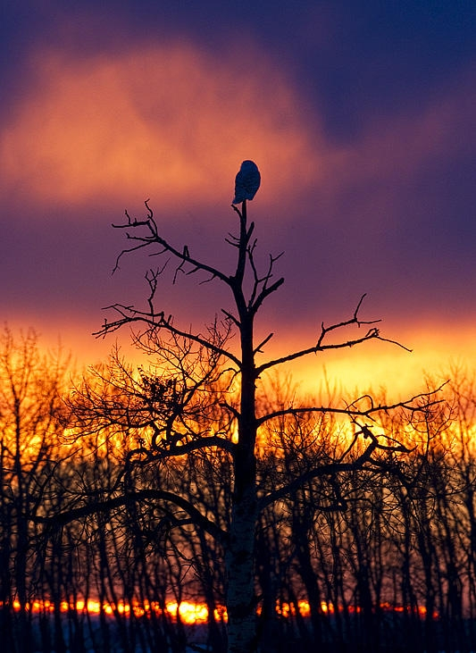Snowy Owl in the suunset by Gerald Romanchuk.