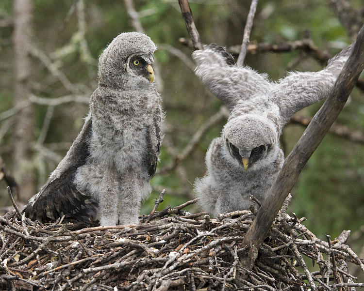 Great Gray Owlets by Gerald Romanchuk
