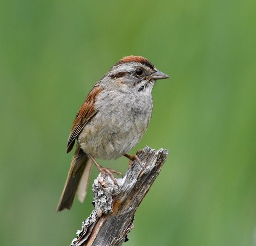 Chipping Sparrow. (Source: Lu Carbyn, EALT)