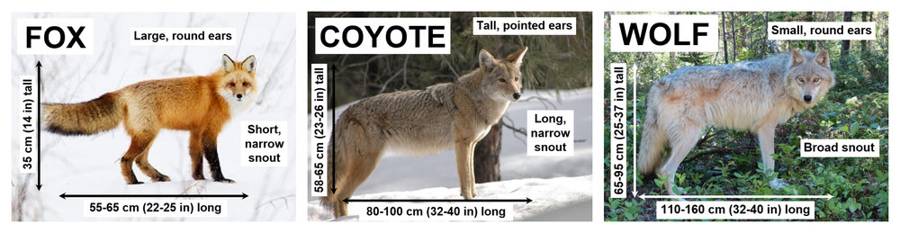 Fox: Gerald Romanchuk, Coyote: Public Domain, Wolf: Stephanie Weizenbach, Source for Measurements: Animal Tracks of Alberta
