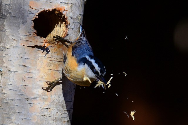 White breasted nuthatch excavating a home!  Photo by Glenn Eckert