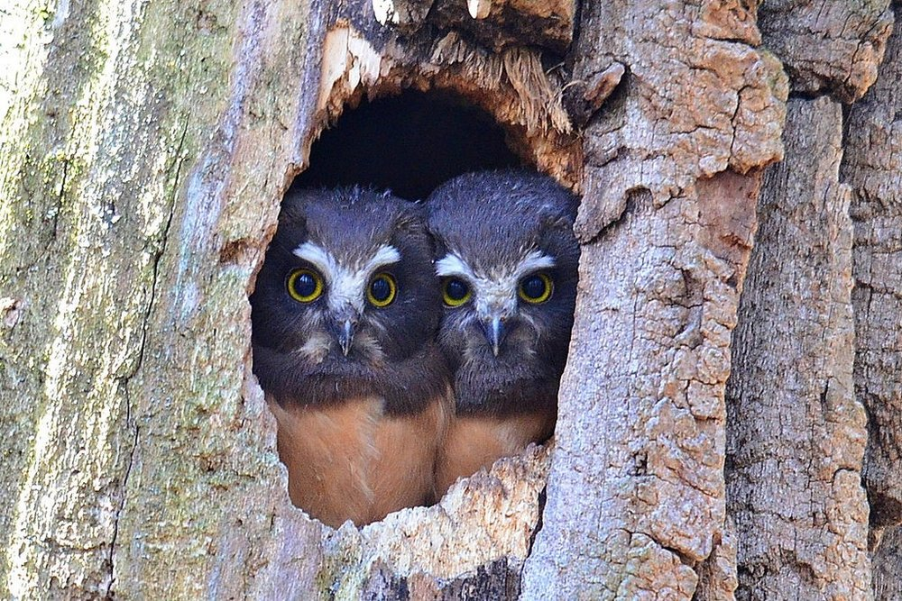 Saw whet owls – A secondary cavity nester , Photo by Glenn Eckert