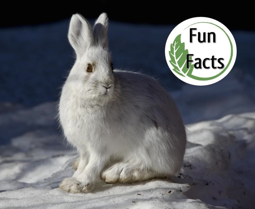 Snowshoe Hare ,  Photo by Denali National Park and Preserve, Public Domain