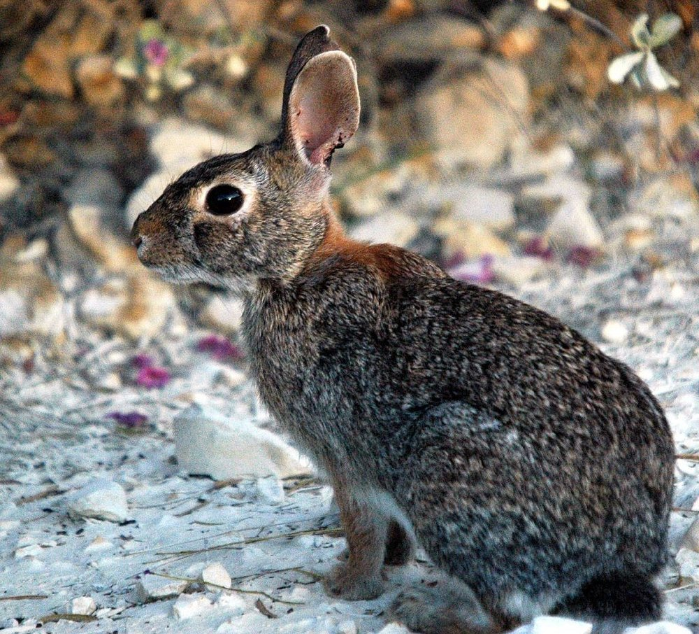 Cottontail Rabbit ,  Photo by Clinton & Charles Robertson, CC BY 2.0, via Wikimedia Commons