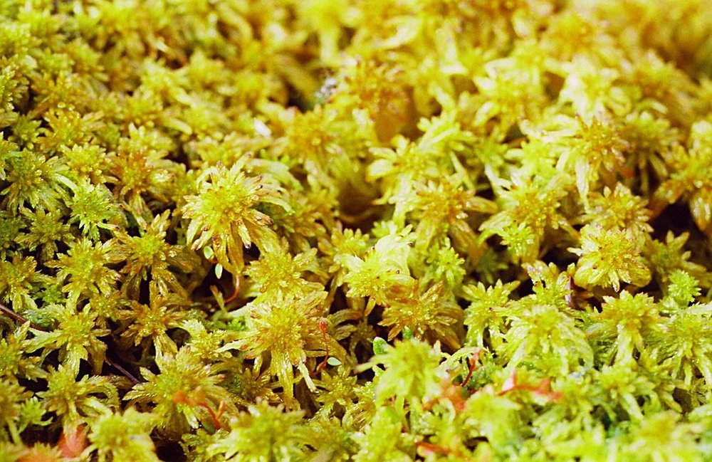 Sphagnum Moss – typical of a peatland  ,  CC BY-SA 3.0