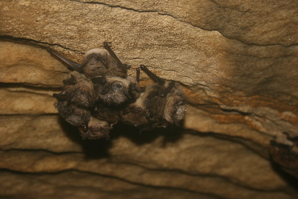 litte brown bat cluster USFWS CC 2.0.jpg