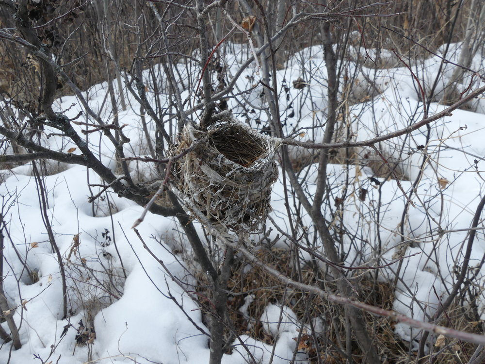 An old Warbling Vireo nest was found by volunteers at Pipestone Creek
