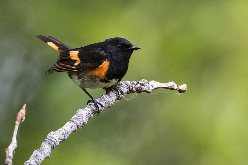 American Redstarts were heard and/or seen at the Lu Carbyn nature walks. Photo by Gerald Romanchuk